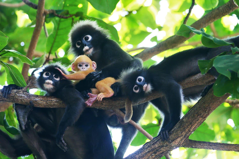 Angthong Tour - Affen auf Koh Wuatalap