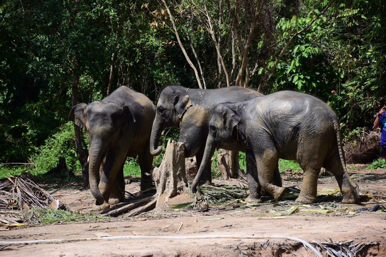 Samui Elephant Sanctuary Elefanten