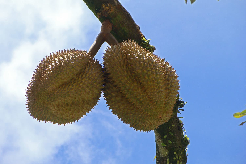 samui-safari-durian