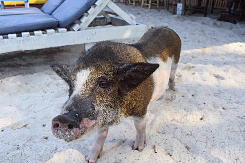 Schnorcheln Koh Tan Schweinchen am Strand