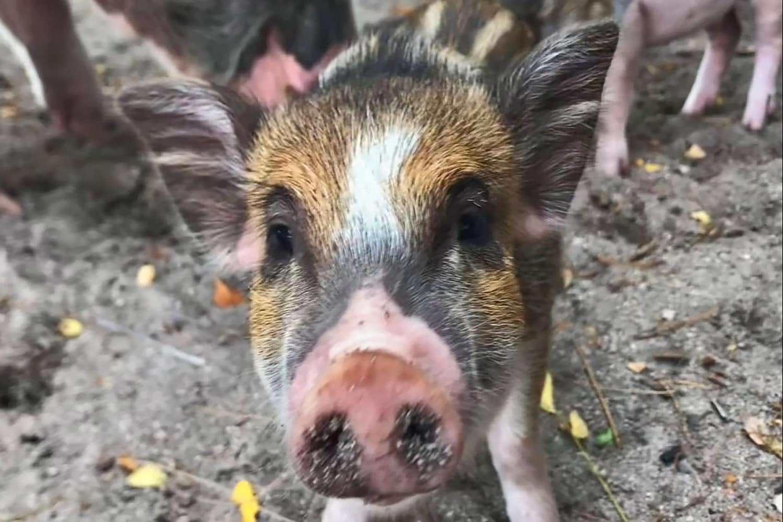 Schnorcheln Koh Tan Schweine am Strand